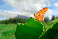 Julia Butterfly. Photo of a Julia Butterfly resting on a leaf with a meadow and a mountain in the background. Focus is on the butterfly Royalty Free Stock Photo