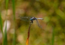 Julia Cedzakowy Dragonfly Zdjęcie Royalty Free
