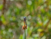 Julia Cedzakowy Dragonfly Zdjęcia Stock