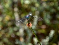 Julia Cedzakowy Dragonfly Zdjęcie Stock