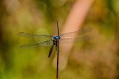 Julia Cedzakowy Dragonfly Fotografia Royalty Free