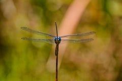 Julia Cedzakowy Dragonfly Obraz Royalty Free
