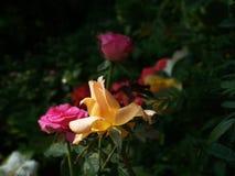 Julia Child Rose images stock