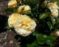 Julia Child Roses Stockbilder