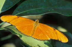 Julia (Dryas julia) Royalty Free Stock Photography