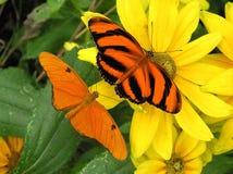 Julia e laranja unida Imagens de Stock