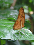 Julia or Flambeau Butterfly (Dryas julia). Julia butterfly sitting on wet leaf, with wings raised Royalty Free Stock Photography