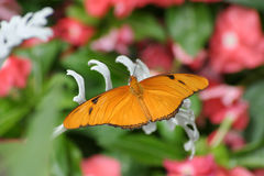 Julia Heliconian. Butterfly, Dryas iulia, Julia Heliconian, Resting On A White Leaf Stock Images