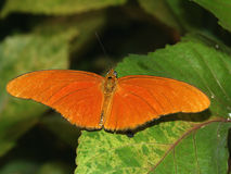 Julia Heliconian Butterfly. A Julia Heliconian Butterfly (Dryas iulia) rests on a leaf Royalty Free Stock Images