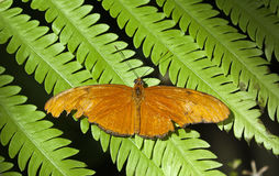 Julia Heliconian butterfly Stock Images