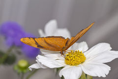 Julia Heliconian Butterfly. A beautiful orange butterfly on a white flower Stock Image
