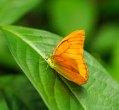 Julia Heliconian butterfly in a garden Stock Photos