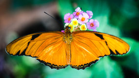 Julia Heliconian Dryas Julia Royalty Free Stock Photo