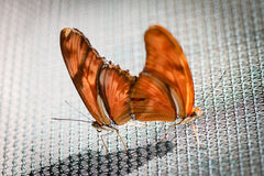 Julia Heliconian Dryas Julia Stock Photography