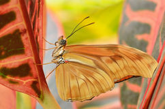 Julia Longwing Butterfly Stock Images