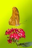 Julia Longwing Butterfly Royaltyfria Foton