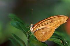 Julia Longwing Butterfly Immagine Stock Libera da Diritti