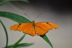 Julia Longwing Butterfly Stock Photography