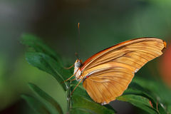 Julia Longwing Butterfly Royalty Free Stock Image