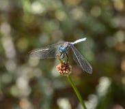 Julia Skimmer Dragonfly Stock Photos