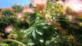 Julibrissin ακακιών (δέντρο μεταξιού) στον αέρα απόθεμα βίντεο