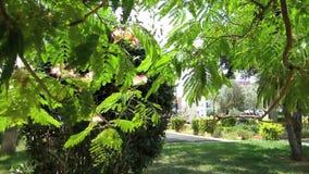 Julibrissin ακακιών (δέντρο μεταξιού) στον αέρα πόλεων φιλμ μικρού μήκους