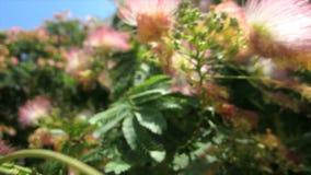Julibrissin da acácia (árvore de seda) no vento vídeos de arquivo
