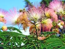 Julibrissin del Albizia de la flor Fotos de archivo