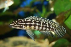 Julidochromis marlieri stockbild
