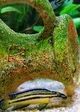 Julidochromis regani royalty free stock photography