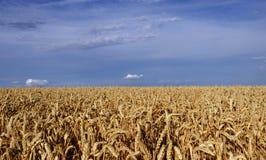 julio Campo sin fin de los oídos maduros del trigo imágenes de archivo libres de regalías