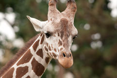 Julius o Giraffe Fotos de Stock Royalty Free