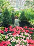 Juljulstjärnor i Garfield Park Conservatory arkivbild