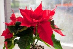 Julstjärna Euphorbia, stjärnan av Betlehem arkivfoton