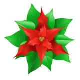 julstjärna julen blommar red Royaltyfri Fotografi