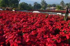 Julstjärna, röd poinesettiaträdgård - jul blommar Fotografering för Bildbyråer