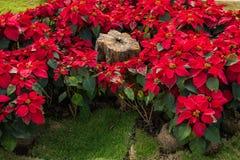 Julstjärna trädgården Arkivfoto