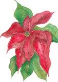 Julstjärnablommamålning stock illustrationer
