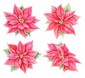 Julstjärnablommauppsättning Hand dragen botanisk illustration för vattenfärg arkivbild