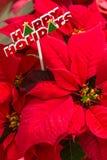 Julstjärnor Royaltyfria Foton