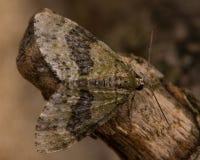 July highflyer moth (Hydriomena furcata) Stock Image