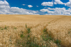 July landscape with blue sky, white clouds and ripe wheat field Stock Image