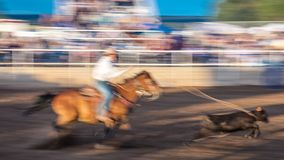 JULY 22, 2017 NORWOOD COLORADO - Cowboys ride and rope cattle during San Miguel Basin Rodeo, San.  Gallup,  championship Royalty Free Stock Photos