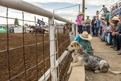 JULY 18, 2017 NORWOOD COLORADO - Dog watches San Miguel Basin Rodeo, San Miguel County.  Fearless,  Norwood. JULY 18, 2017 NORWOOD COLORADO - Dog watches San Stock Photo