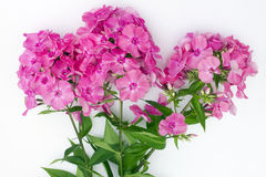 July pink  phloxes  lies on a white rural table Royalty Free Stock Photos