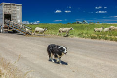 July 17, 2016 - Sheep ranchers unload sheep on Hastings Mesa near Ridgway, Colorado from truck royalty free stock images