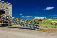 July 17, 2016 - Sheep ranchers unload sheep on Hastings Mesa near Ridgway, Colorado from truck Stock Images