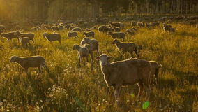 July 17, 2016 - Sheep rgraze on Hastings Mesa near Ridgway, Colorado from truck stock photos