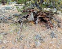Jumbled Jagged Juniper. High desert juniper scene by Dusty Loops Rocks - near Tumalo, OR stock photo