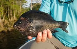 Jumbo Bluegill Caught While Fishing By Angler. A jumbo bluegill is held by a lucky angler while fishing a lake in North Carolina stock photo